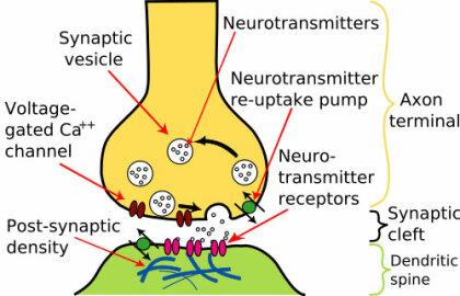 Schematischer Aufbau einer Synapse